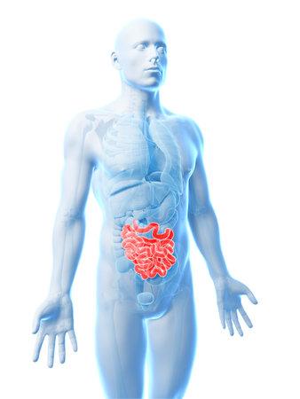 3d rendered illustration of the small intestine Stock Illustration - 18448241