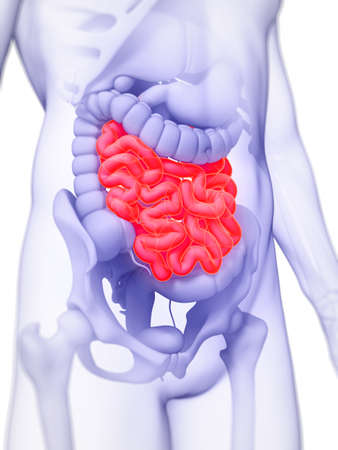 3d rendered illustration of the small intestine Stock Photo