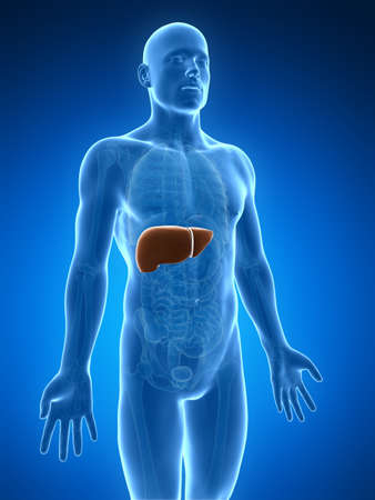3d human: 3d rendered illustration of the male liver Stock Photo