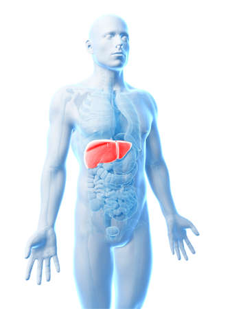 male anatomy: 3d rendered illustration of the male liver Stock Photo
