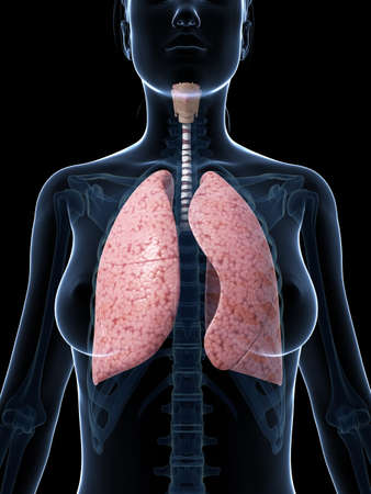 bronchi: 3d rendered illustration of the female lung