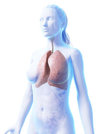 3d rendered illustration of the female lung illustration