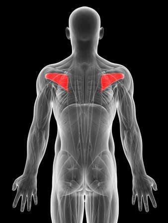infraspinatus: 3d rendered illustration of the infraspinatus muscle Stock Photo