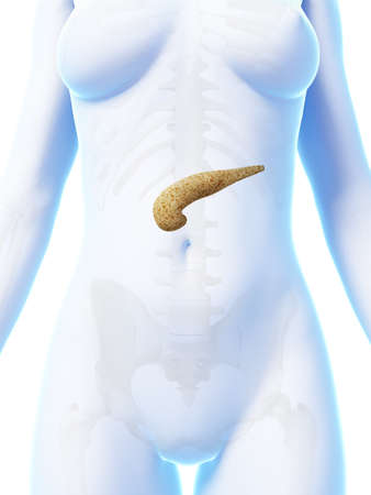 3d rendered illustration of the female pancreas illustration