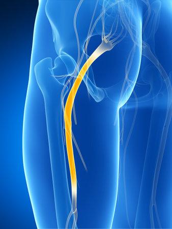 nerve system: 3d rendered illustration of the sciatic nerve