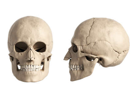 3d rendered illustration of the human skull illustration