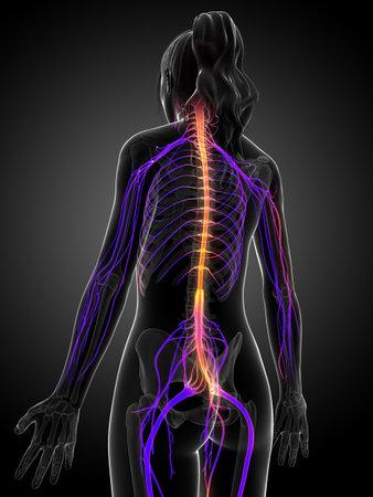 3d rendered illustration of the female nervous system  Stok Fotoğraf