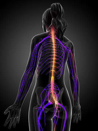 human touch: 3d rendered illustration of the female nervous system  Stock Photo