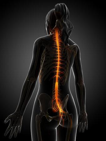 plexus: 3d rendered illustration of the female nervous system  Stock Photo