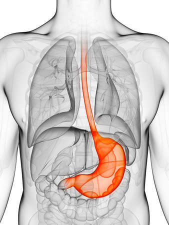 transparent male anatomy: 3d rendered illustration of a stomach
