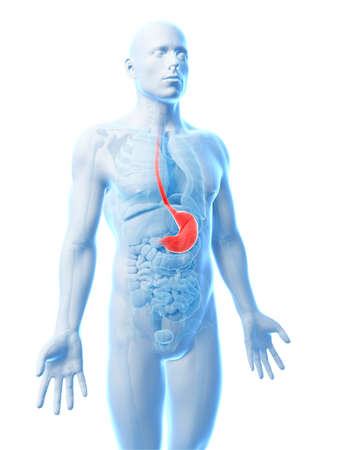 3d rendered illustration of the stomach illustration
