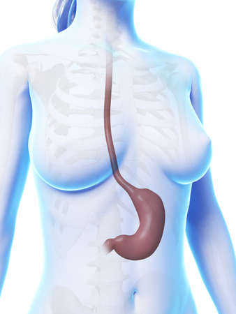 3d rendered illustration of the stomach Stock Illustration - 18448535