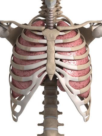 肺と胸郭の 3 d レンダリングされた図