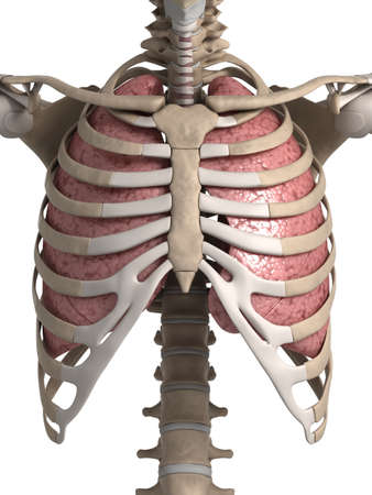 human lung: 3d rendered illustration of the lung and thorax