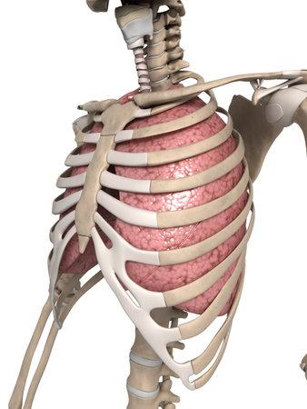 肺、胸郭の 3 d レンダリングされた図