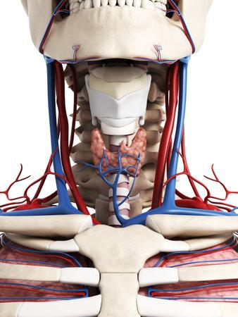 anatomie humaine: 3d illustration rendu de l'anatomie du cou