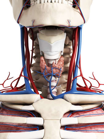 human anatomy: 3d rendered illustration of the neck anatomy Stock Photo