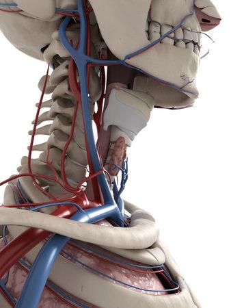collo: 3d ha reso l'illustrazione di anatomia del collo Archivio Fotografico