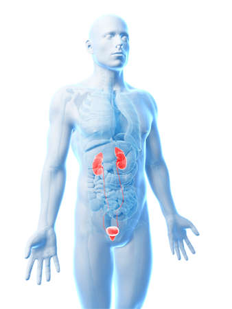 3d rendered illustration of the urinary system illustration