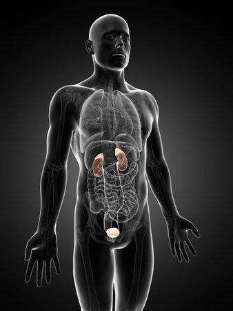 uretra: 3d rindió la ilustración del aparato urinario