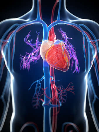 cardiac care: 3d rendered illustration of the human heart
