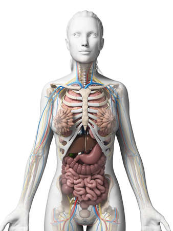 human anatomy: 3d rendered illustration of the female anatomy Stock Photo