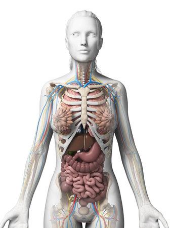 sistema digestivo: 3d rindió la ilustración de la anatomía femenina Foto de archivo