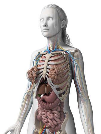 esophagus: 3d rendered illustration of the female anatomy Stock Photo