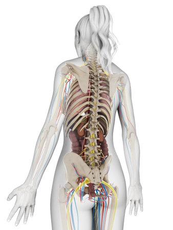 cecum: 3d rendered illustration of the female anatomy Stock Photo