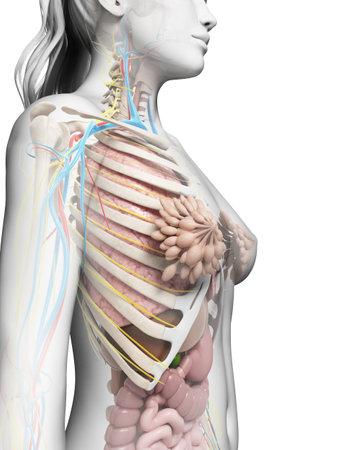 pancreas: 3d illustration rendu de l'anatomie f�minine