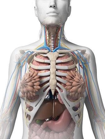 trzustka: 3d ?wiadczonych ilustracji kobiecej anatomii