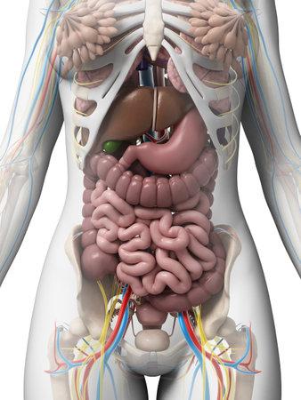 anatomie humaine: 3d illustration rendu de l'anatomie f�minine
