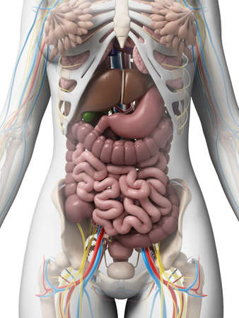 digestive system: 3d rendered illustration of the female anatomy Stock Photo
