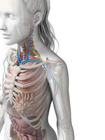 3d rendered illustration of the female anatomy Stock Illustration - 18451367