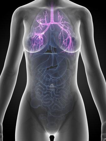 human organs: 3d rendered illustration of the female anatomy - bronchi