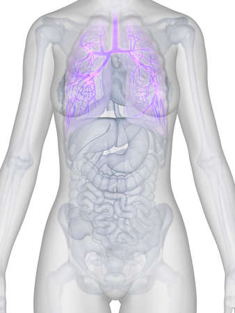 3d rendered illustration of the female anatomy - bronchi Stock Illustration - 19040191