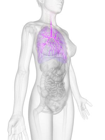 bronchi: 3d rindi� la ilustraci�n de la anatom�a femenina - bronquios
