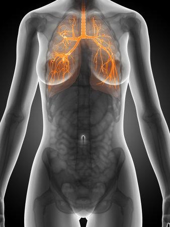 bronchi: 3d rendered illustration of the female anatomy - bronchi