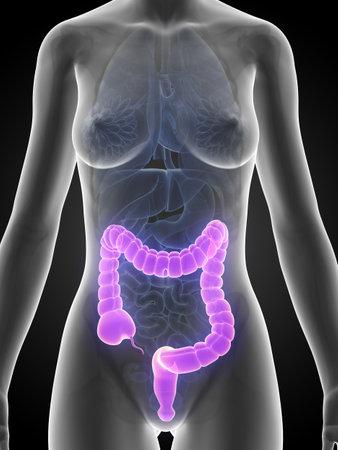 3d rendered illustration of a female´s colon illustration