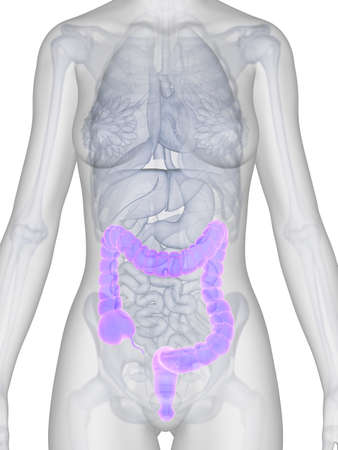 3d rendered illustration of a female´s colon illustration