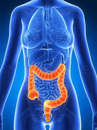 3d rendered illustration of a female´s colon Stock Illustration - 19040739