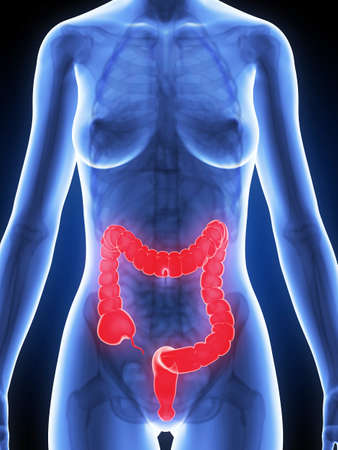 3d rendered illustration of a female´s colon Stock Illustration - 19040673