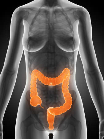 3d rendered illustration of a female´s colon Stock Illustration - 19040260