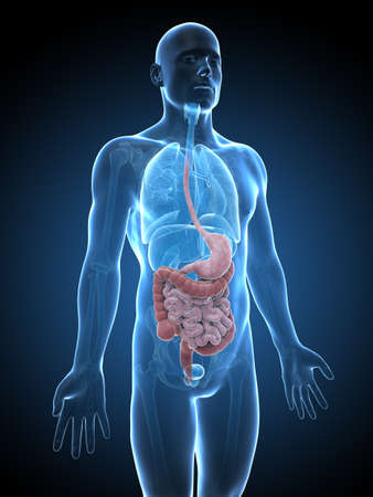 digestive disease: 3d rendered illustration of the male digestive system Stock Photo