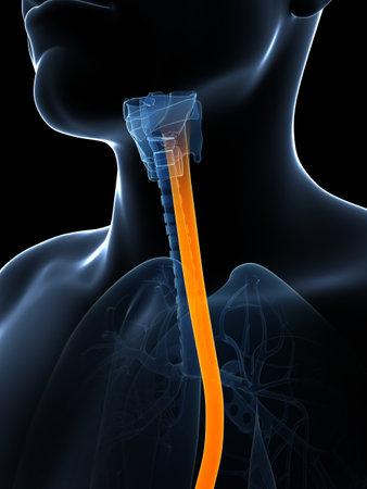 esofago: 3d rindi� la ilustraci�n del es�fago