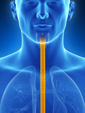 esophagus: 3d rendered illustration of the esophagus