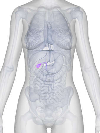 3d rendered illustration of the female anatomy - gallbladder Stock Illustration - 19040145
