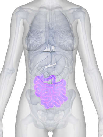 3d rendered illustration of the female anatomy - intestine illustration