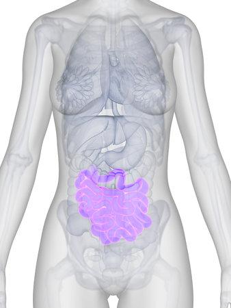 3d rendered illustration of the female anatomy - intestine Stock Illustration - 19040142