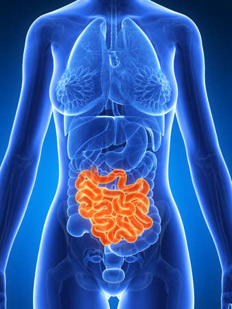 3d rendered illustration of the female anatomy - intestine Stock Illustration - 19040742